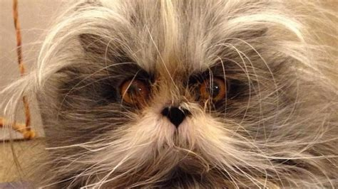 Werewolf Cat Is Strange And Adorable - CatTime