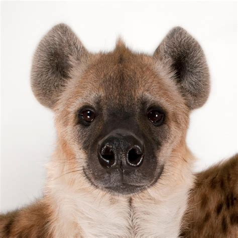 Spotted Hyena | National Geographic