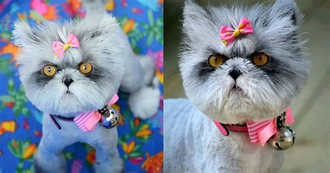 Hairy cat is constantly being mistaken for a dog due to