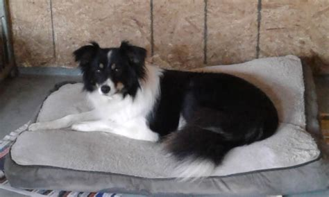 Border Collie Dogs & Collie Puppies For Sale in Ontario