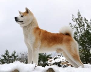 Akita Dog Breed Information and Pictures - PetGuide