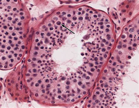 Male Reproductive System   histology