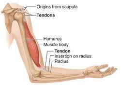 Tendon   definition of tendon by Medical dictionary
