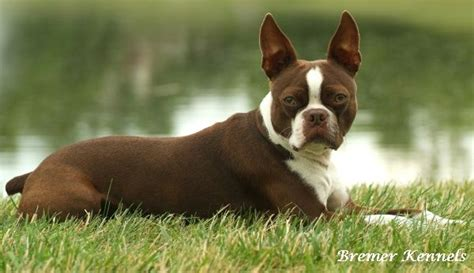 The Boston Terrier is a breed of dog originating in the