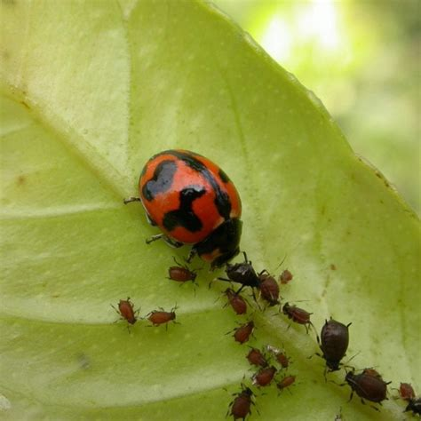 Aphids – Bugs For Bugs