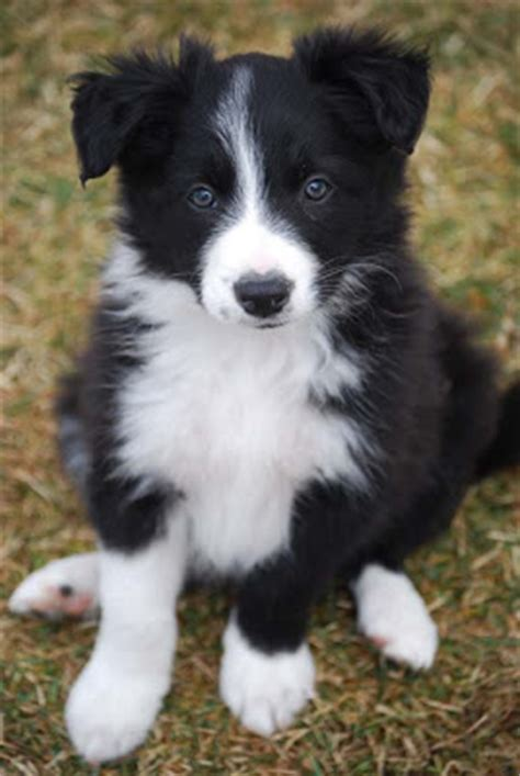 Hillcrest Border Collies: Puppies are 7 weeks old