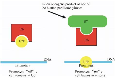 Bio-chemical interations of E7 oncogene of HPV
