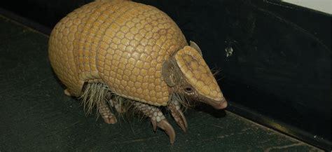 Armadillo, Southern Three-banded - Louisville Zoo