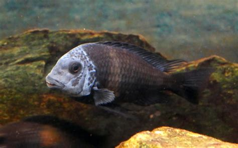 White spotted cichlids: Characteristics, habitat, care and