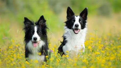 Border collie – tapety na pulpit – Tapety