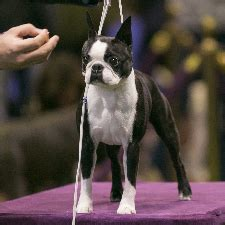Facts About Boston Terriers