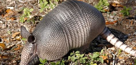 About Armadillos: Appearance, biology, life cycle, habitat